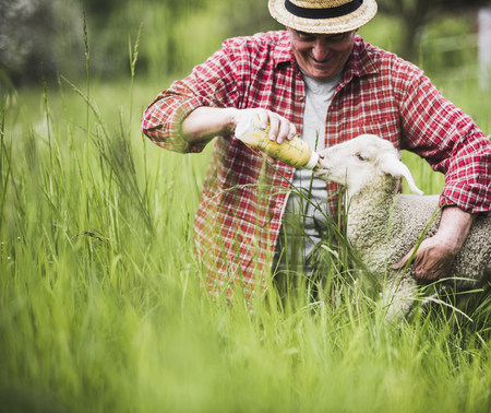Shepherd feeding lamb with milk bottle LANG_EVOIMAGES