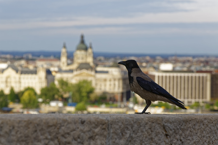 corvus: Hungary, Carrion crow, Corvus corone in front of St. Stephens Basilica in Budapest