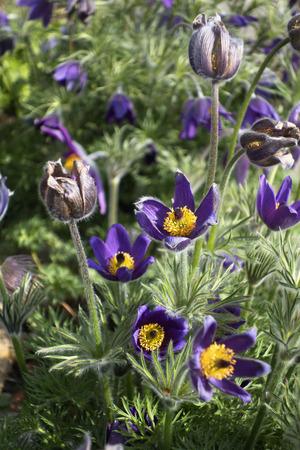 Common pasque flower, Anemone pulsatilla