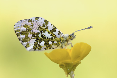 Orange tip on yellow blossom