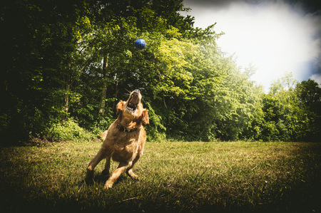Young golden retriever snapping blue ball on meadow