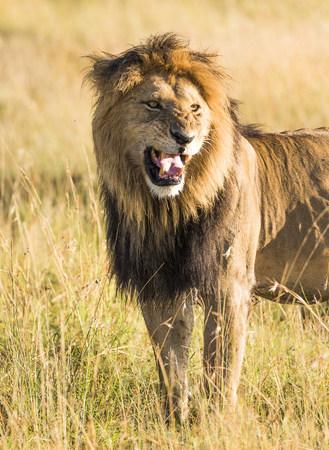 Africa, Kenya, wild lion in the Maasai Mara National Reserve