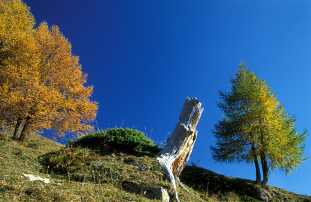 Larches In National Park Hohe Tauern, Austria