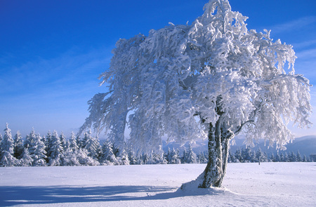Germany, Black Forest Snow-Covered Trees