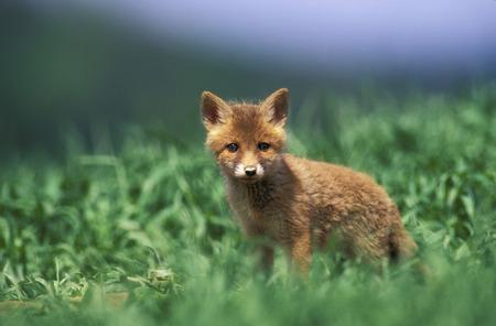 sweetly: Red Fox
