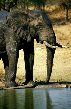pozo de agua: Ngala Game Lodge, Elefant At Waterhole, Kruger Park, Limpopo, Timbavati, South Africa