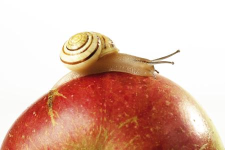 Snail On Apple, Close-Up