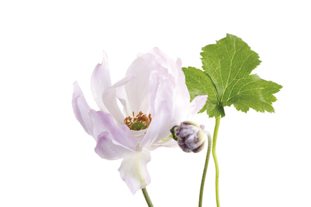 Blossoms And Leaf Of Fall Anemone (Anemone Japonica), Close-Up