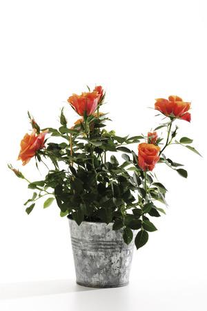 Orange Roses In Plant Pot, Close-Up