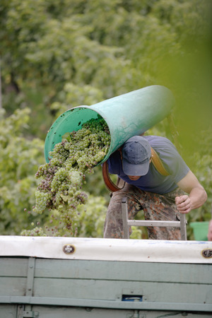 Man Pouring Grapes On Truck