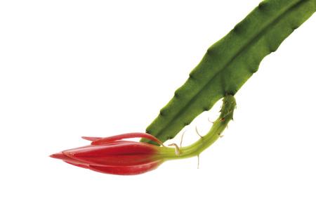 Blooming Cactus (Epiphyllum), Close-Up LANG_EVOIMAGES