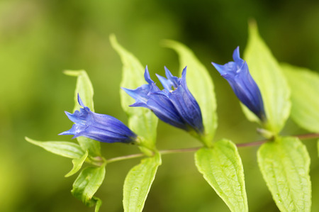 Willow Gentian, Gentiana Asclepiadea, Close-Up LANG_EVOIMAGES