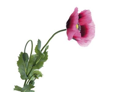 Opium Poppy (Papaver Somniferum), Close-Up