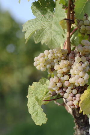 White Grapes, Close-Up LANG_EVOIMAGES