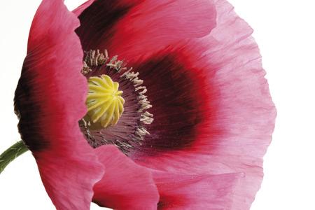 Blossom Of Opium Poppy (Fremontodendron Californicum), Close-Up