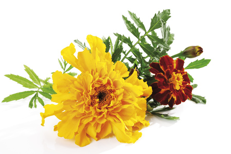 Blossoms Of Marigold (Tagete), Close-Up