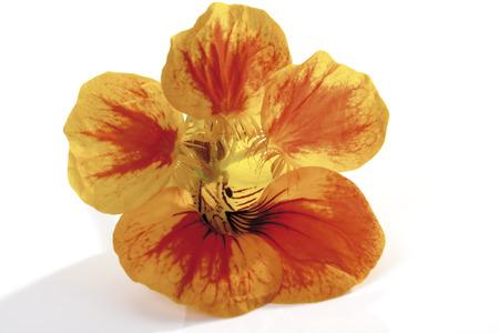 Orange Blossom Of Nasturtium (Tropaeolum Majus), Close-Up