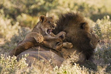 Africa, Botswana, Adult Male Lion (Panthera Leo) And Cub