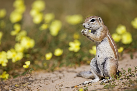 Africa, Botswana, African Ground Squirrel (Xerus Rutilus)