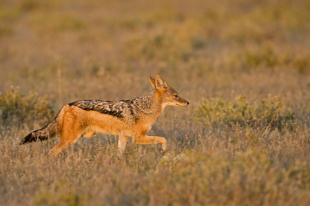 move in: Africa, Botswana, Black-Backed Jackal (Canis Mesomelas)