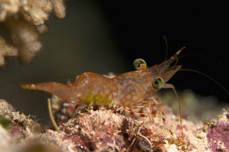 Egypt, Red Sea, Hendersons Hinge-Beak Shrimp (Cinetorhynchus Hendersoni) LANG_EVOIMAGES