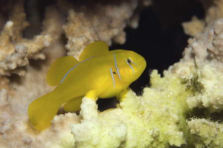 Egypt, Red Sea, Lemon Coral Goby (Gobiodon Citrinus)