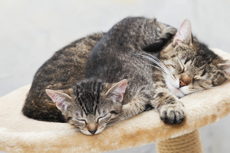 tiredness: Domestic Cats,Cat And Kitten Sleeping Together