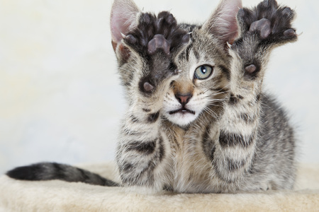 Domestic Cat,Kitten Stretching Out Paw,Portrait,Close-Up