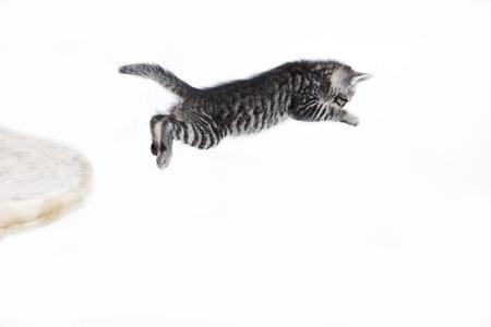Domestic Cat,Kitten Jumping LANG_EVOIMAGES