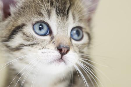 Domestic Cat,Kitten,Portrait,Close-Up