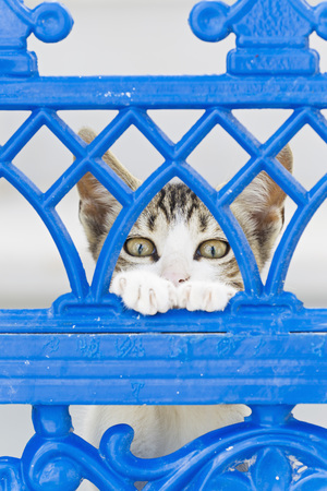 Europe,Greece,Cyclades,Thira,Santorini,Oia,Kitten Watching Through Fence