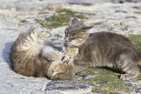 Europe,Greece,Cyclades,Santorini,Two Cats Playing On The Street LANG_EVOIMAGES