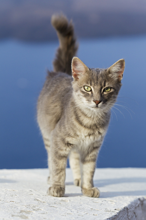 Europe,Greece,Cyclades,Santorini,Cat Standing On Wall