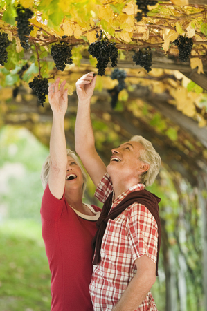 plucking: Italy,South Tyrol,Mature Couple In Vineyard