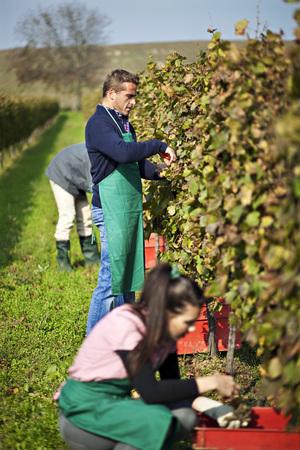 cowering: Croatia,Baranja,Men And Woman Working In Vineyard