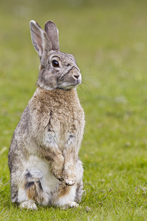 lapin: South America,Argentina,Rabbit In Tierra Del Fuego National Park LANG_EVOIMAGES