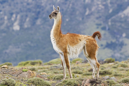 South America,Chile,Patagonia,Guanacos In Torres Del Paine National Park
