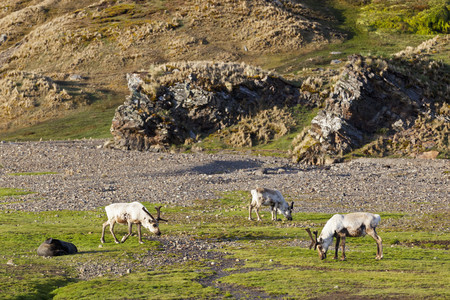 South Atlantic Ocean,United Kingdom,British Overseas Territories,South Georgia,Fortuna Bay,Whistle Cove,Reindeer Grazing Grass