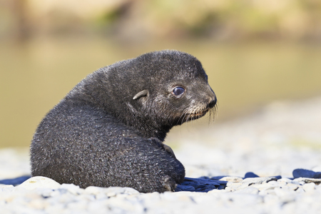 South Atlantic Ocean,United Kingdom,British Overseas Territories,South Georgia,Fortuna Bay,Whistle Cove,Antarctic Fur Seal Pup Sitting On Stones