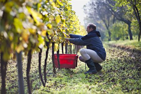 cowering: Croatia,Baranja,Young Man Harvesting Grapes In Vineyard LANG_EVOIMAGES