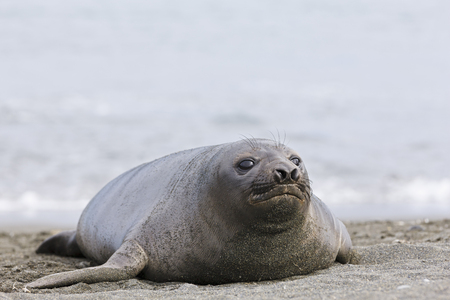 South Atlantic Ocean,United Kingdom,British Overseas Territories,South Georgia,Young Southern Elephant Seal LANG_EVOIMAGES