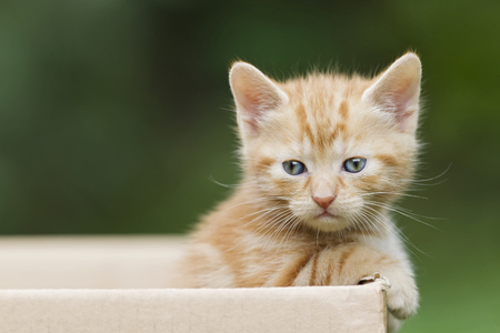 Germany,Ginger Kitten In Cardboard Box,Close Up