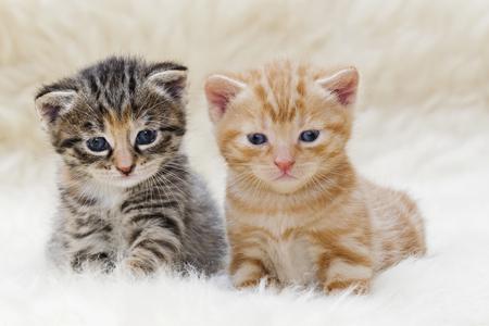 Germany,Kittens Sitting On Fur,Close Up LANG_EVOIMAGES