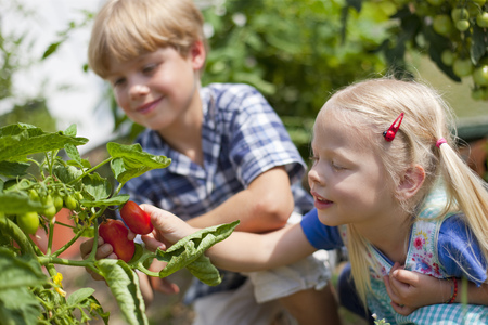 cowering: Germany,Bavaria,Boy And Girl Picking Tomatoes In Garden LANG_EVOIMAGES