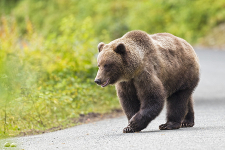 Usa,Alaska,Brown Bear Walking On Road Near Chikoot Lake LANG_EVOIMAGES