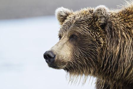 Usa,Alaska,Close Up Of Brown Bear At Lake Clark National Park And Preserve LANG_EVOIMAGES