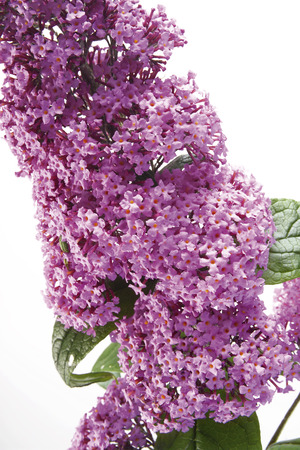 Lilac, Buddleja