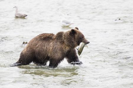 Usa,Alasaka,Brown Bear In Chilkoot Lake With Caught Salmon