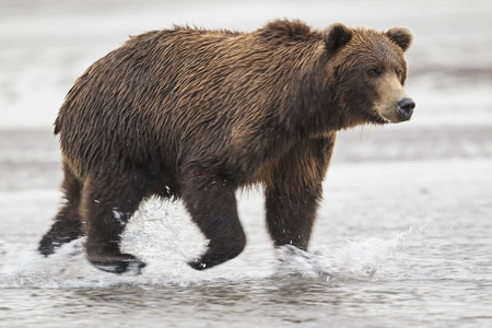 Usa,Alaska,Brown Bear In Silver Salmon Creek At Lake Clark National Park And Preserve