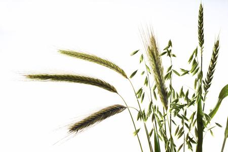 Different Grains LANG_EVOIMAGES
